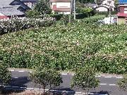 Kさん宅の広大な花 (3)