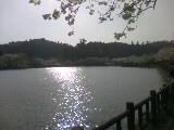 09八角湖の桜