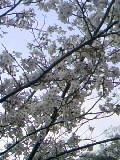 公園の桜09年 (4)