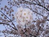 06年4月1日モバラ公園の桜