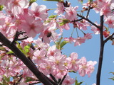 06桜-1