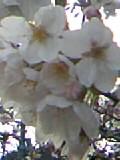 公園の桜09年 (2)