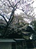 09玉前神社の桜