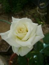 white_0703
