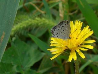 袖ヶ浦.タンポポにかわいい蝶々が・・・