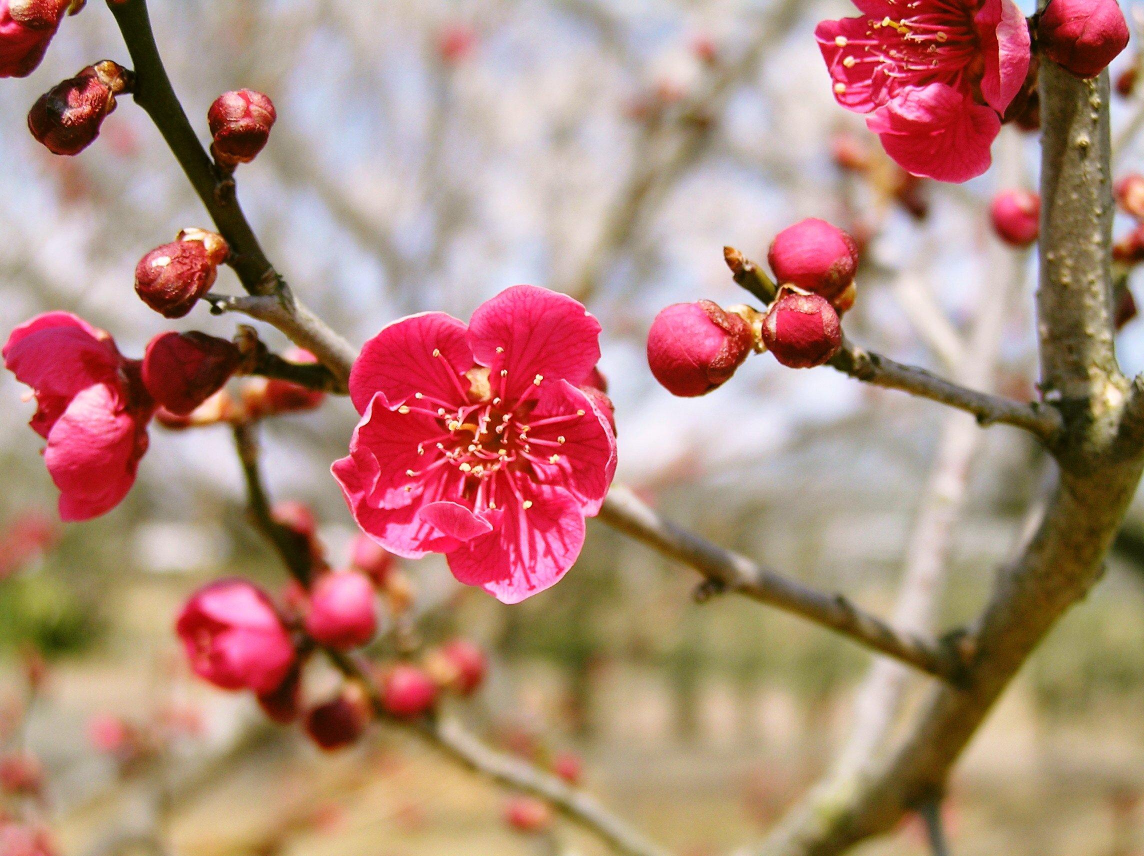 梅を観る会3