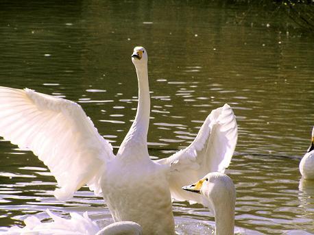 丸田沢の白鳥3