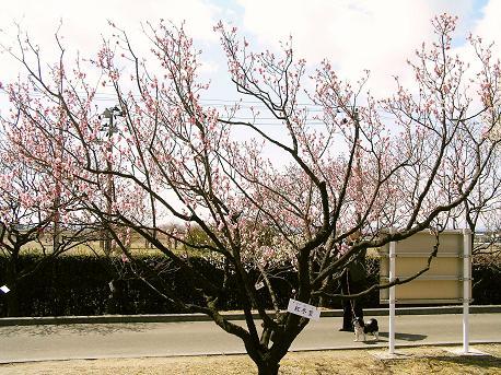 梅を観る会4
