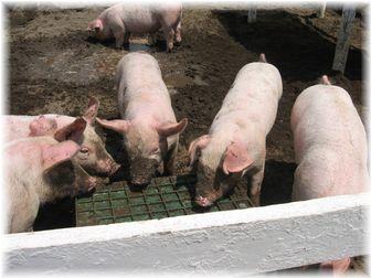 マザー牧場 子豚