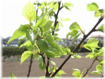 2007.4.1 杏orプルーン