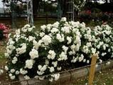 三ツ沢のバラ