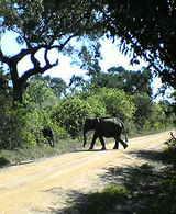 ヤーラの象