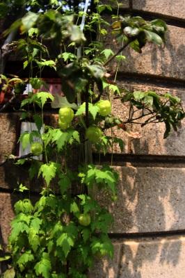 風船植物。